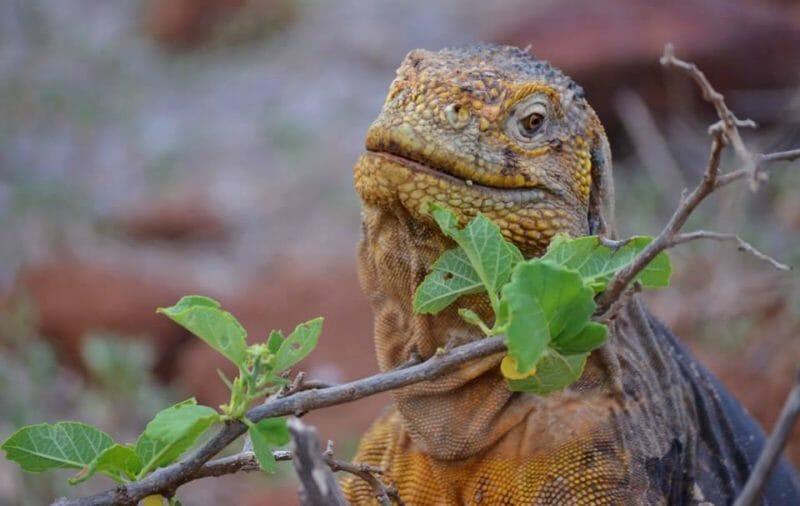 Riesenleguanen Galapagos