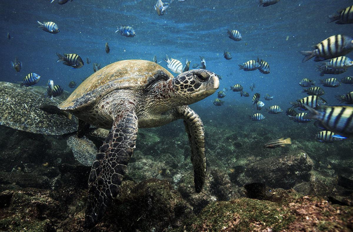 der Meeresschildkröten zu schnorcheln Galapagos