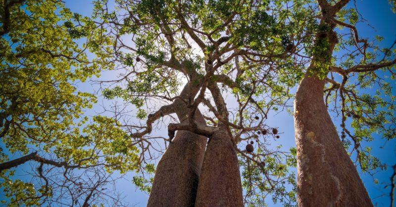 Gruppenreise nach Madagaskar in Reniala, um Affenbrotbäume zu sehen